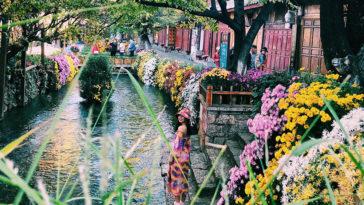 Cầm ngay 12 triệu đi ngắm hoa phủ khắp phố ở Lệ Giang, Shangrila